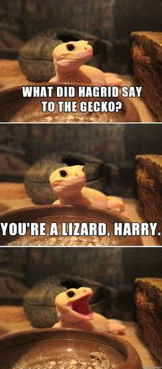 Harry Potter Cast James Potter during Harry Potter Book Goblet Of Fire Cute Lizard, Cute Gecko, Harry Potter Poster, Harry Potter Jokes, Animal Memes, Funny Animals, Cute Animals, James Potter, Cute Reptiles