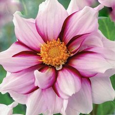 Dahlia 'Edge Of Joy'/ATTRACTS: Butterflies.  Great planted with Nicotiania which attracts Rose Breasted Grossbeaks.