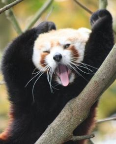 yay, a website dedicated to Red Pandas!!!!!!!!!!!!!!!!