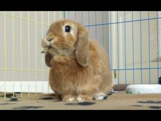 Cute little Lop Rabbit