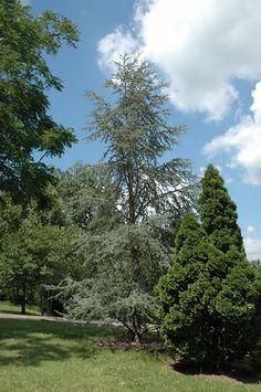 Blue Atlas Cedar (Cedrus atlantica 'Glauca') at Stauffers Of Kissel Hill
