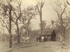 A bark hut, in Queensland even.  Settlers bark hut on Laidley Creek, Laidley, Queensland  - Evidence of land clearing and settlement at this modest hut. Tow horses are tethered in the clearing.