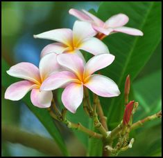 32. Find beautiful plumeria flowers and wear one in your ear.