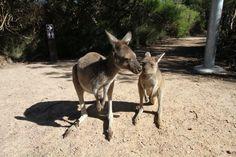 Kangaroos at Cape Le Grand National Park near Esperance, Western Australia