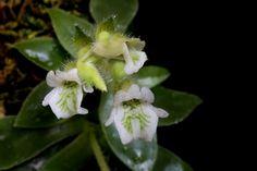 Lankesterella ceracifolia