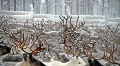 Reindeer in Pello in Lapland