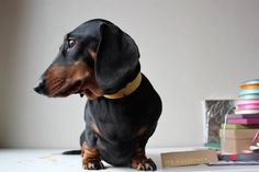 If William S. Burroughs was reincarnated into a doxie, then this is him.