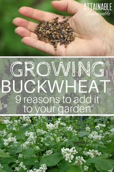 Tomatoes Gardening For Beginners Growing buckwheat: It's surprisingly good at creating lots of unexpected benefits in a vegetable garden. PLUS, it's super easy to grow. Fall Vegetables, Organic Vegetables, Growing Vegetables, Gardening For Beginners, Gardening Tips, Pallet Gardening, Kitchen Gardening, Hydroponic Gardening, Hydroponics
