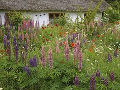 Łubin to jedna z najbardziej charakterystycznych roślin ogrodu wiejskiego, nie może go zabraknąć także w ogrodzie naturalnym