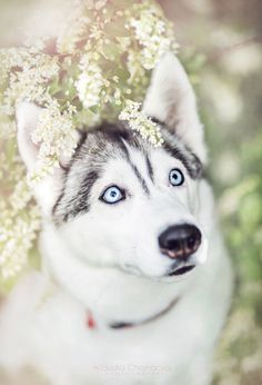 ~ HANDSOME HUSKY ! - Tap the pin for the most adorable pawtastic fur baby apparel! You'll love the dog clothes and cat clothes! <3