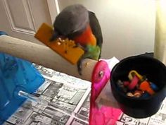 Make 2 super simple foraging toys for your birds (Phoenix Landing) Just need treats, balsa wood, and paper cup.