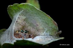 Jumping Spider and her babies