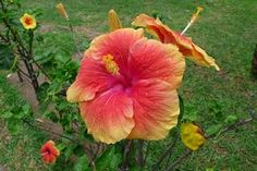 Directions for Crepe Paper Hibiscus http://www.ehow.com/how_6591084_directions-tissue-paper-hibiscus-flowers.html