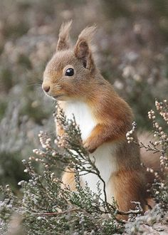 Red squirrel - Harry Bursell << Today's dose of squirrel while we continue to wait for a #redsandgrays trailer.