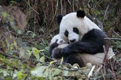 I love how pandas cuddle like this. It make me so happy. I wish that Funjungle had more than one panda, but I don't think that anyone wants to go through all of that again. Panda Hug, Panda Bebe, Baby Panda Bears, Cute Panda, Red Panda, Baby Pandas, Giant Pandas, Cubs Pictures, Animal Pictures