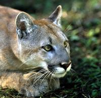 Help SAVE Panthers!  Ask USFWS & the Dept of Interior To Give Panthers Room To Roam!  Florida panthers once prowled & flourished in America's southeastern woodlands & swamps, but today fewer than 160 of these majestic cats remain in a tiny remnant of their historic range. Their habitat is shrinking every day – swallowed up by development. We're in a race against time! As panther habitat becomes more & more fragmented, it will be increasingly difficult for them to survive.  PLZ Sign & Share!