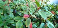 Fast Growing Shrubs to Plant for Privacy: Red Tip Photinia, Bamboo, African Boxwood, Rhododendron, Viburnum  ....