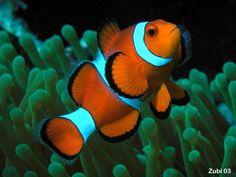 clownfish...nemo