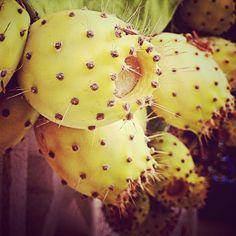 #Chumbera #AunionCreatividad #Yellow #Almeria #Spain #Mediterraneo #Cactous #Cactus ©www.aunioncreatividad.com