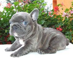 French bulldogs are SO cute.