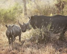 The world's largest private rhino owner, John Hume, is holding an online rhino horn auction in South Africa. Pretoria, Save The Rhino, Live Animals, Small Group Tours, Kruger National Park, Game Reserve, Great Stories, Animal Rights, Ways To Save