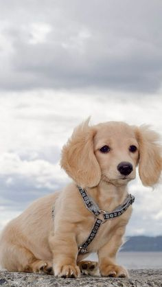I mean c'mon! Pups might look like this! Can also come out choc, black, or black&tan like Willow's dad.