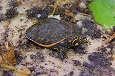softshell turtles (Apalone ferox)