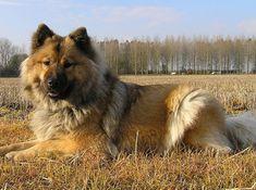 Eurasier, trop beau <3