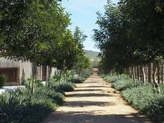 the lime walk: Babylonstoren - a beautiful garden in the making