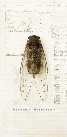 By Cicada. i love nature Natural World, Natural History, Sibylla Merian, Professional Photo Lab, Insect Art, Mundo Animal, Gravure, Bugs, Illustration Art