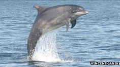 """Scientists have found further evidence that dolphins call each other by """"name"""". Research has revealed that the marine mammals use a unique whistle to identify each other. A team from the University of St Andrews in Scotland found that when the animals hear their own call played back to them, they respond. The study is published in the Proceedings of the National Academy of Sciences."""
