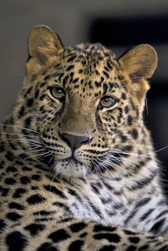 Amur leopard by Official San Diego Zoo, via Flickr
