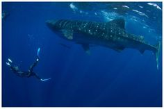 Swimming with whale sharks cozumel | whaleshartk season is from june sept experience of a lifetime