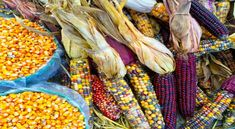 From acorn bread to fry bread, succotash to beef stew, Native American cuisine has been a staple in homes across America for centuries. Corn Health Benefits, Blue Cornmeal, Colored Corn, Healthy Corn, Healthy Tips, Quinoa Seeds, Air Popped Popcorn, American Food, American Recipes
