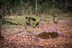 Krokodyl w Puszczy Białowieskiej... Crocodile in Bialowieza forest...