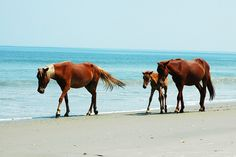 Great image of the wild horses on the #OBX! http://www.elanvacations.com/