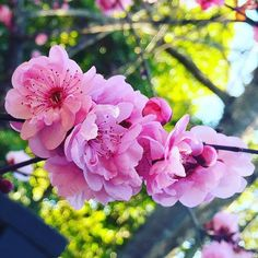 Perfect pinks bursting blooms everywhere #adored1 #timetobeplanting #pink #sakura #さくら #お花 #春います #カリフォルニア #spring #printemps #blooms #cherryblossom #love #livingcolor #lovecolor #palette #blossom #nature #nevergetsold #california #centralcoast #mothernature #lookingup #lookup #herecomesthesun and I say it's alright  #singing #whilstiwaswalking