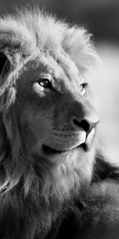 Hey guys ,today i create a post about lion . I share some images of lions who is copyright free you can use these images anywhere Image 1 . Lion Images, Lion Pictures, Pictures Images, Free Images, Beautiful Cats, Animals Beautiful, Lion Hd Wallpaper, Trendy Wallpaper, Iphone Wallpaper