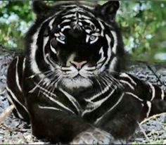 Mythical animal created by the titan Draco and again welcomed by Hades who gave it to his son Nico DiAngelo. Royalty, grandeur, nobility and strength describe this wonderful and majestic animal. (We especially thank at @ProtectTheTigers for this wonderful specimen of Russian Black Tiger that has been handed to us for the movie.)