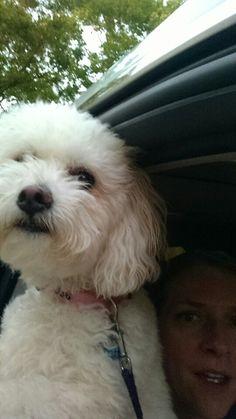 Puppy's first birthday. #bichon