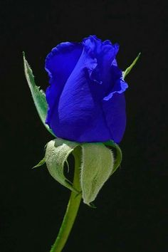 The Blue Moon Rose. by cathysapp- A blue rose? Not sure if this is real or photoshopped but what a beautiful color! Exotic Flowers, Amazing Flowers, Beautiful Roses, My Flower, Beautiful Flowers, Colorful Roses, Pretty Roses, Blue Moon Rose, Purple Rose