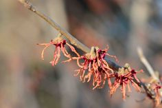 A red variety of Witch Hazel showing some color this spring Landscape Design, Garden Design, Witch Hazel, Spring Blooms, Gardening, Ceiling Lights, Red, Color, Landscape Designs