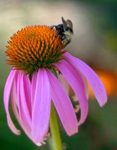 Purple coneflower & bee - mopping up by Red Zena, via Flickr