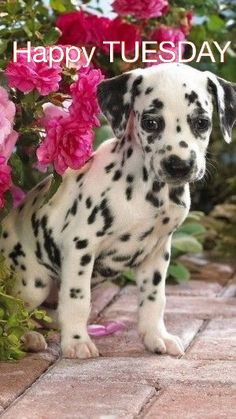 Dog Breeds I believe with all my heart that Dalmatian puppies are some of the cutest dogs in the world. Pet Puppy, Pet Dogs, Dog Cat, Doggies, Cute Puppies, Dogs And Puppies, Dalmatian Puppies, Fluffy Puppies, Boxer Puppies