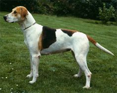 harrier dog photo | Harrier pictures, information, training, grooming and puppies.