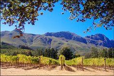 Stellenbosch vineyard South Africa, Vineyard, Around The Worlds, Spaces, Travel, Outdoor, Outdoors, Viajes, Vine Yard