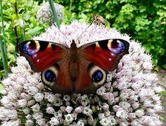 Dagpauwoog, op Preibol.....! Schingen, bij bewolkt weer. Foto en tekst: Coby Buisman Cute Butterfly, Moth, Insects, Animals, Animales, Animaux, Animal, Animais