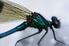 Damsel Fly by GethinThomas, via Flickr