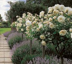 Rose Iceberg Tree Form - White Flower Farm  Pairs nicely with lavender