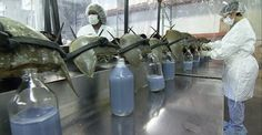 Each year, half a million horseshoe crabs are captured and bled alive to create an unparalleled biomedical technology.